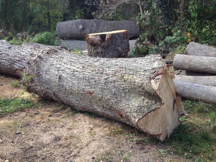 Sycamore felled to make way for a housing project